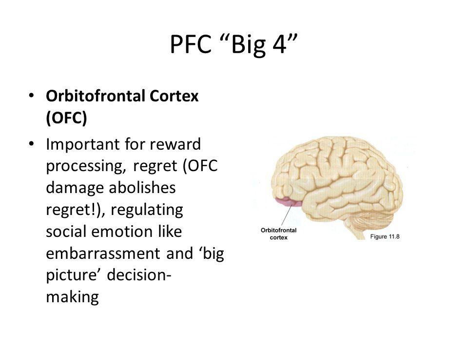 PFC Big 4 Orbitofrontal Cortex (OFC) Important for reward processing, regret (OFC damage abolishes regret!), regulating social emotion like embarrassment and 'big picture' decision- making