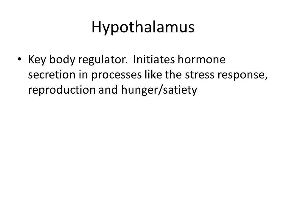 Hypothalamus Key body regulator.