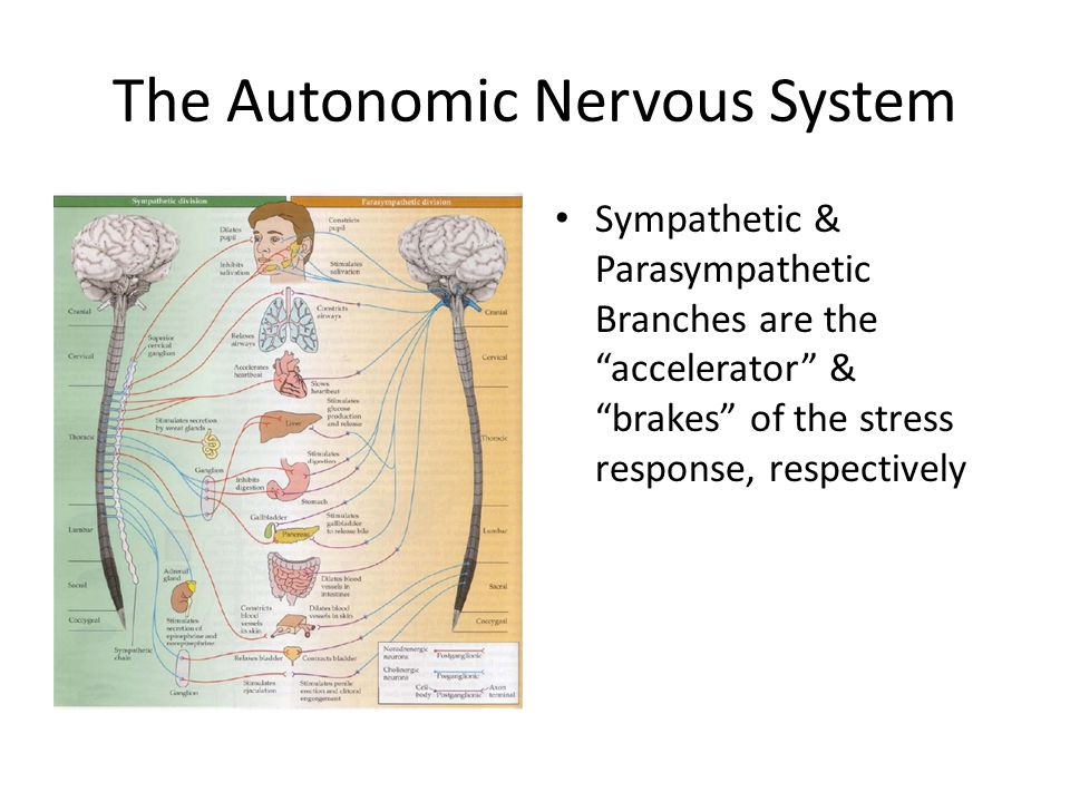 The Autonomic Nervous System Sympathetic & Parasympathetic Branches are the accelerator & brakes of the stress response, respectively