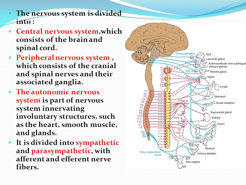 The autonomic nervous system, like the somatic nervous system, has afferent, connector, and efferent neurons.