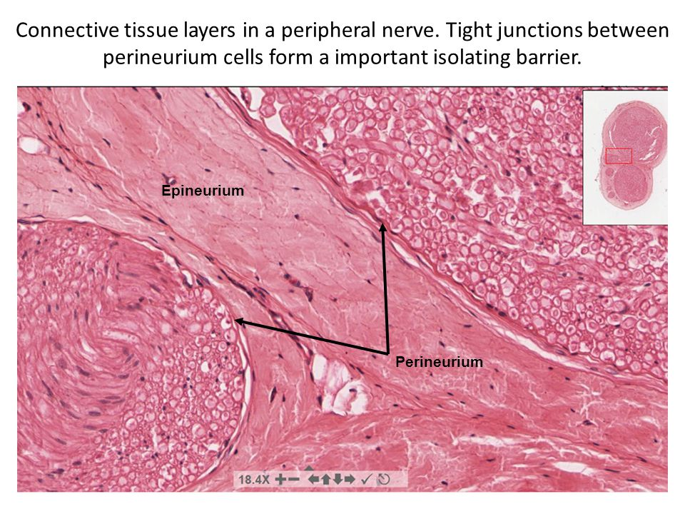 Connective tissue layers in a peripheral nerve.