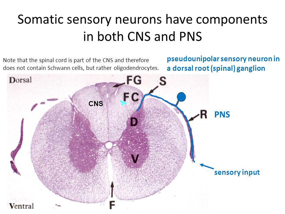 Somatic sensory neurons have components in both CNS and PNS sensory input pseudounipolar sensory neuron in a dorsal root (spinal) ganglion CNS PNS Note that the spinal cord is part of the CNS and therefore does not contain Schwann cells, but rather oligodendrocytes.