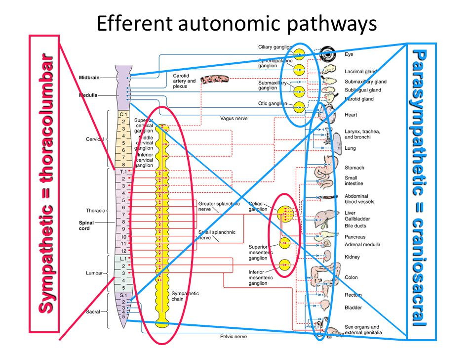 Efferent autonomic pathways Parasympathetic = craniosacral Sympathetic = thoracolumbar