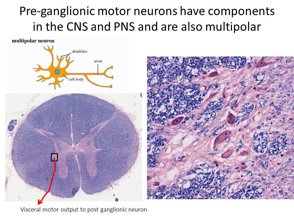 Pre-ganglionic motor neurons have components in the CNS and PNS and are also multipolar Visceral motor output to post ganglionic neuron