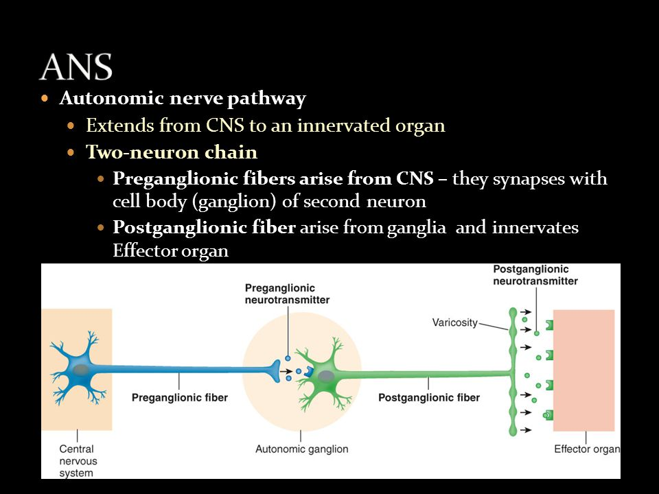 Autonomic nerve pathway Extends from CNS to an innervated organ Two-neuron chain Preganglionic fibers arise from CNS – they synapses with cell body (ganglion) of second neuron Postganglionic fiber arise from ganglia and innervates Effector organ