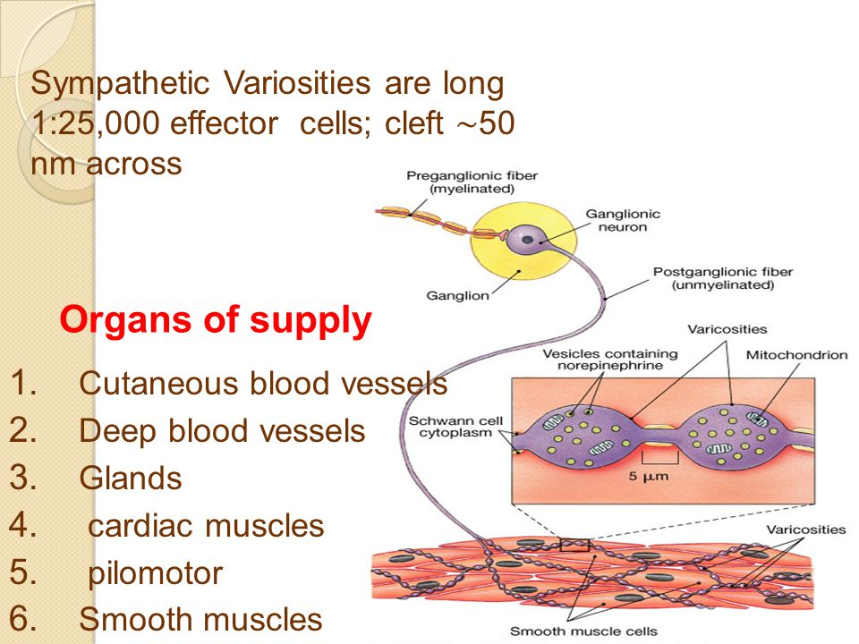 Organs of supply 1. Cutaneous blood vessels 2. Deep blood vessels 3.