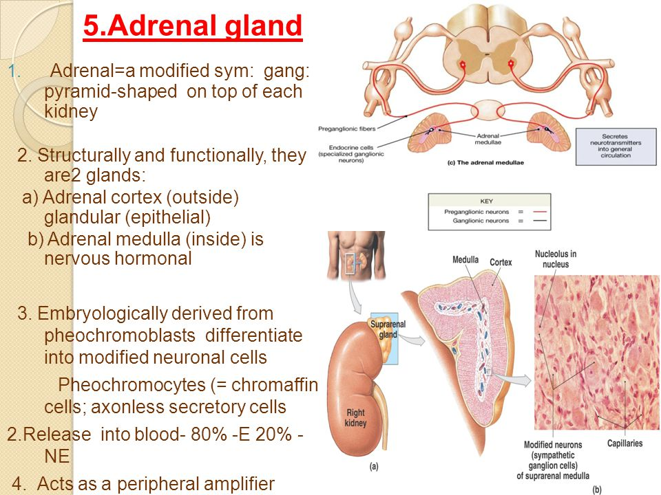 5.Adrenal gland 1. Adrenal=a modified sym: gang: pyramid-shaped on top of each kidney 2.