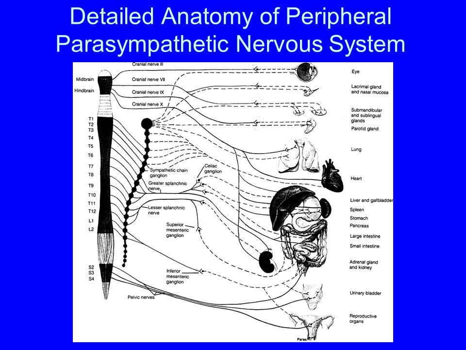 Detailed Anatomy of Peripheral Sympathetic Nervous System Prevertebral Ganglion Paravertebral Ganglion 8% of fibers In peripheral nerves