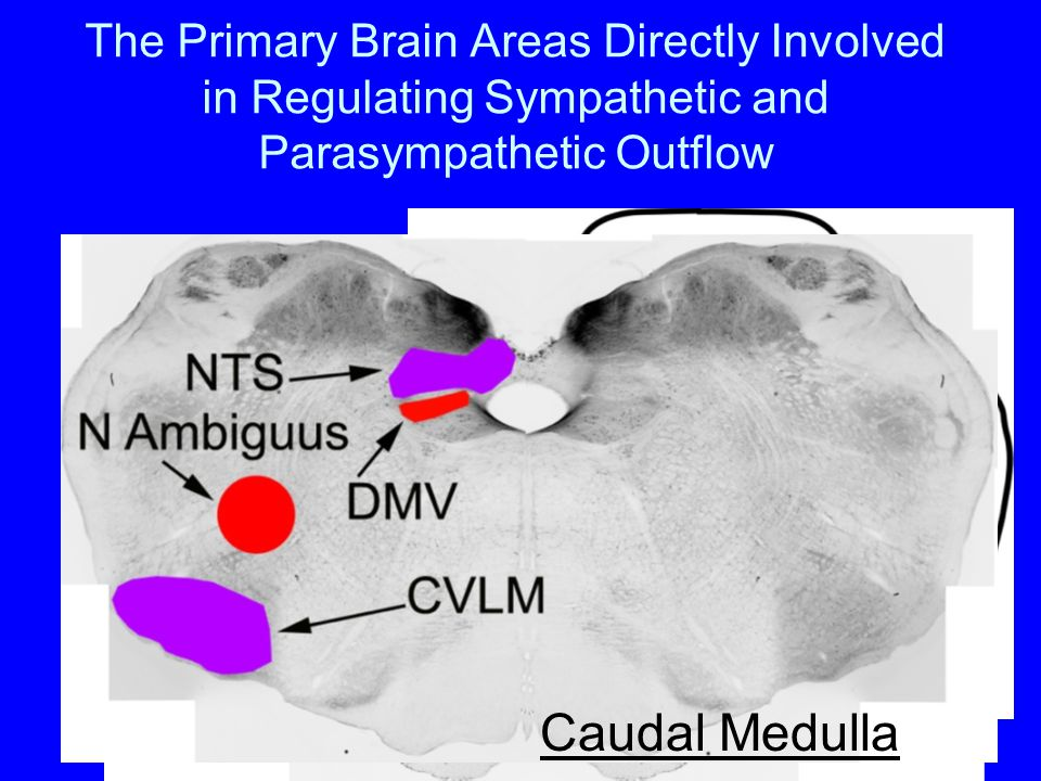 The Primary Brain Areas Directly Involved in Regulating Sympathetic and Parasympathetic Outflow Spinal Cord Rostral Medulla Caudal Medulla