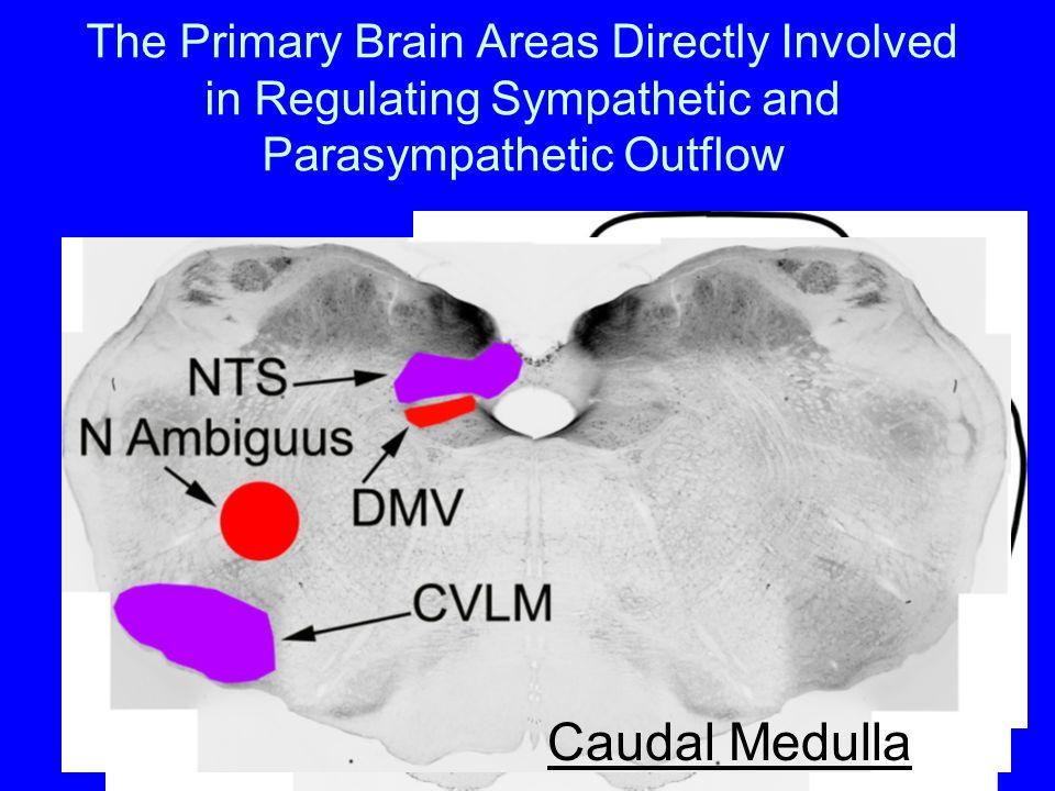 Divisions of Autonomic Nervous System Sympathetic Nervous System Parasympathetic Nervous System Enteric Nervous System