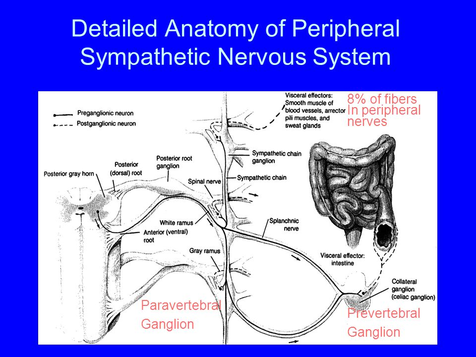 Detailed Anatomy of Peripheral Sympathetic Nervous System Prevertebral Ganglion Paravertebral Ganglion 8% of fibers In peripheral nerves
