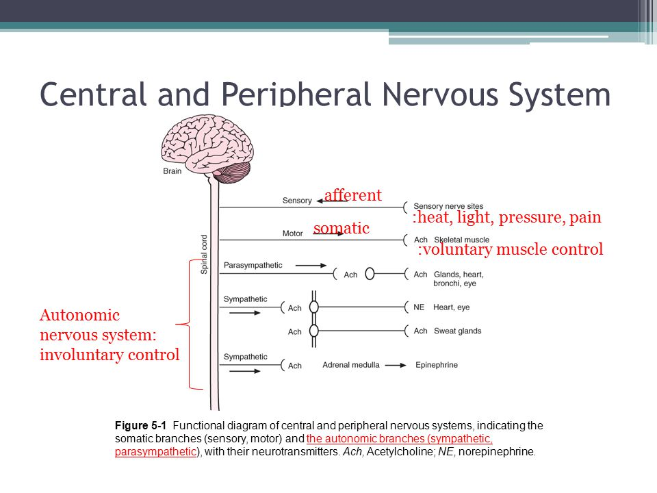 Central and Peripheral Nervous System Figure 5-1 ​ Functional diagram of central and peripheral nervous systems, indicating the somatic branches (sensory, motor) and the autonomic branches (sympathetic, parasympathetic), with their neurotransmitters.