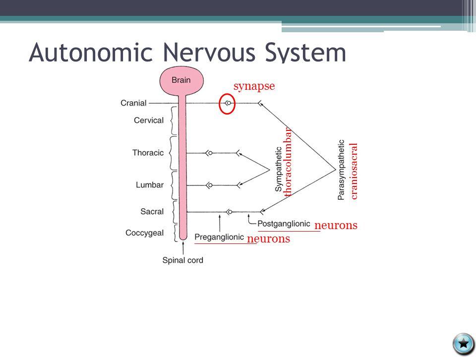 Autonomic Nervous System neurons synapse craniosacral thoracolumbar