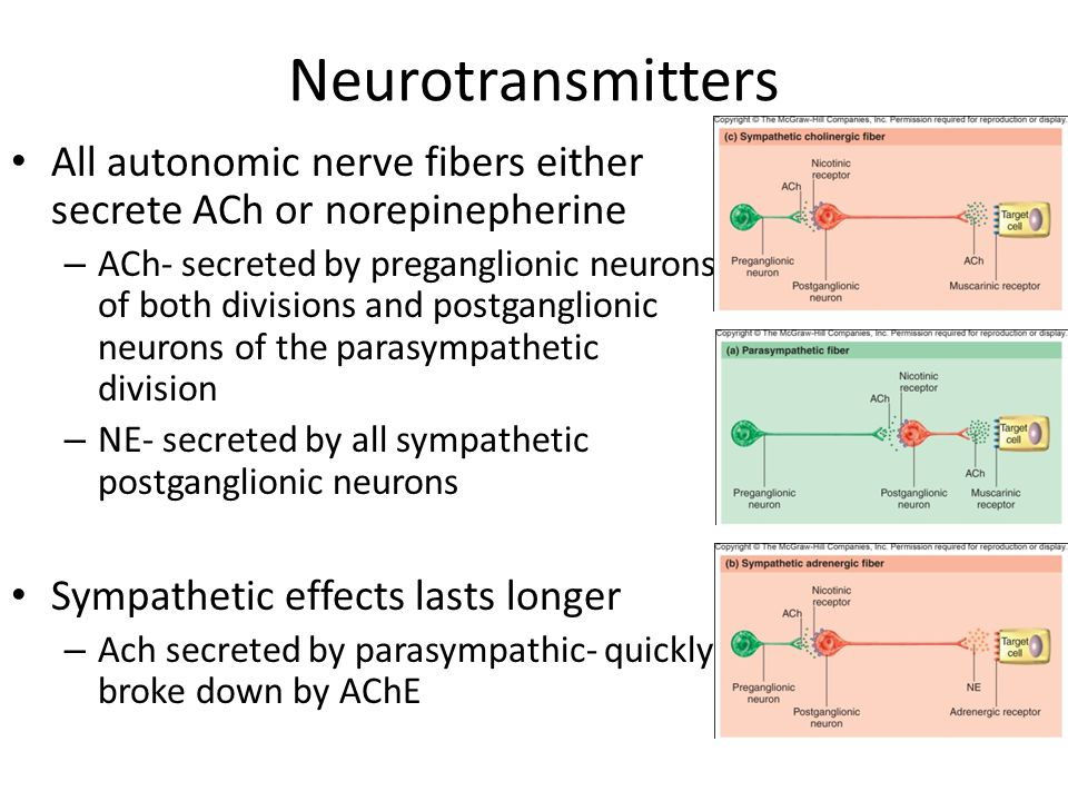 Neurotransmitters All autonomic nerve fibers either secrete ACh or norepinepherine – ACh- secreted by preganglionic neurons of both divisions and post