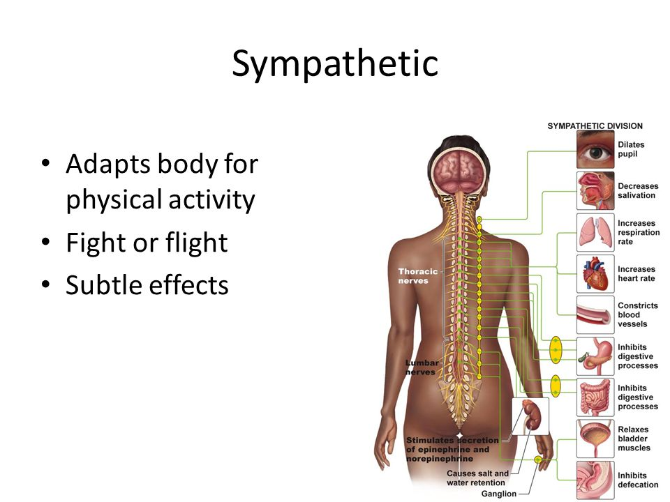Sympathetic Adapts body for physical activity Fight or flight Subtle effects