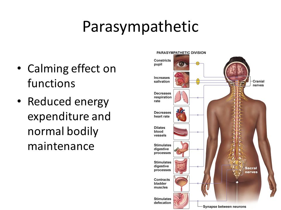Parasympathetic Calming effect on functions Reduced energy expenditure and normal bodily maintenance