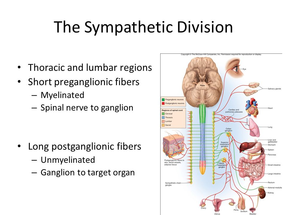 The Sympathetic Division Thoracic and lumbar regions Short preganglionic fibers – Myelinated – Spinal nerve to ganglion Long postganglionic fibers – U