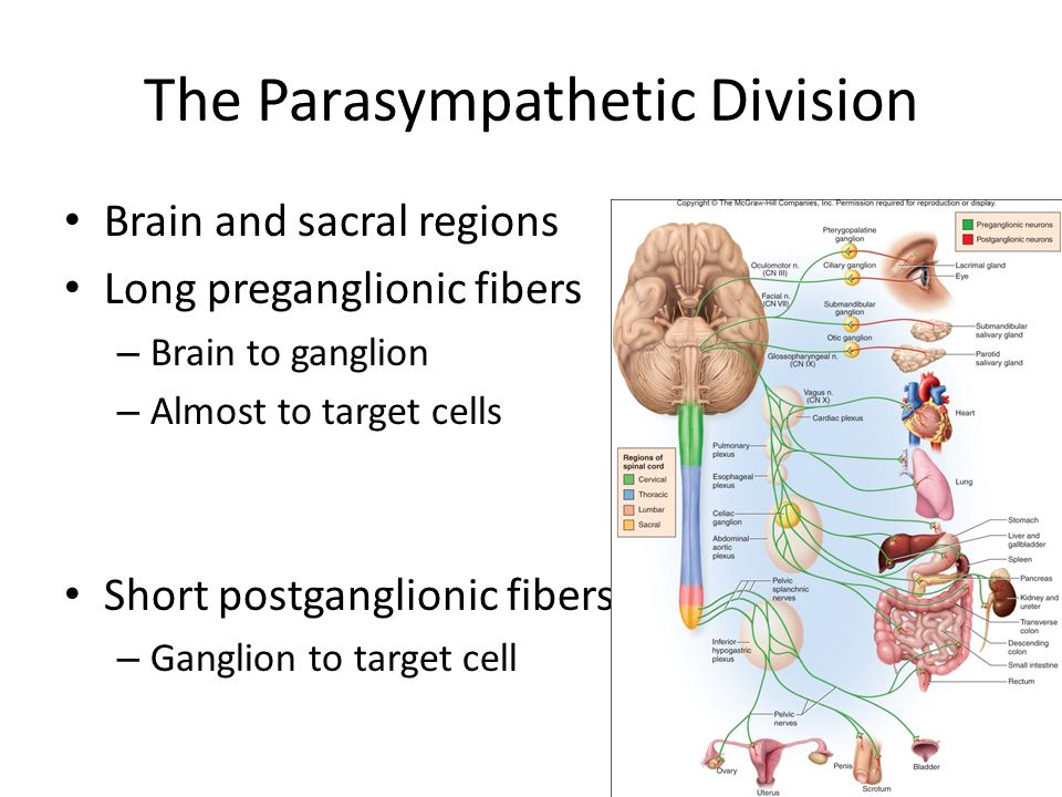 The Parasympathetic Division Brain and sacral regions Long preganglionic fibers – Brain to ganglion – Almost to target cells Short postganglionic fibe