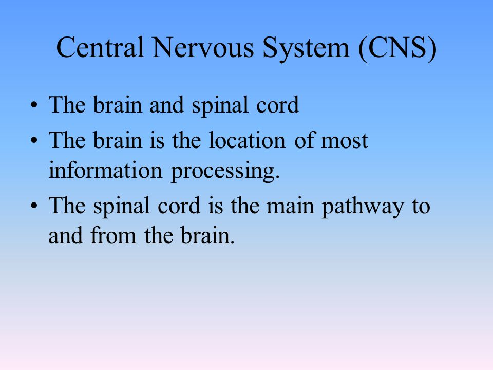 Central Nervous System (CNS) The brain and spinal cord The brain is the location of most information processing.