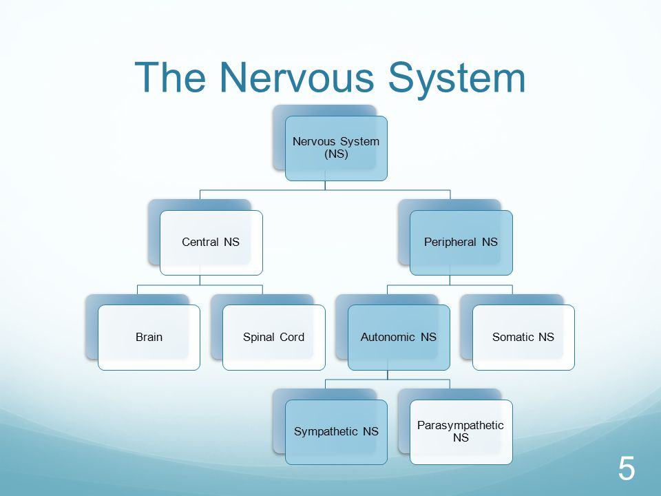 The Nervous System 5 Nervous System (NS) Central NSBrainSpinal CordPeripheral NSAutonomic NSSympathetic NS Parasympathetic NS Somatic NS