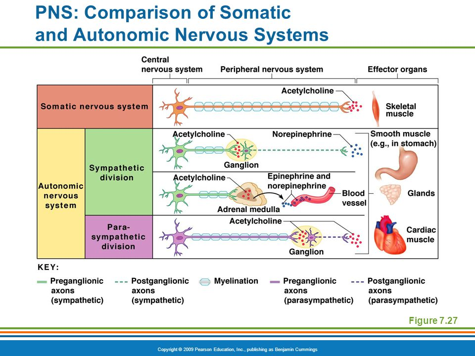 Copyright © 2009 Pearson Education, Inc., publishing as Benjamin Cummings PNS: Comparison of Somatic and Autonomic Nervous Systems Figure 7.27