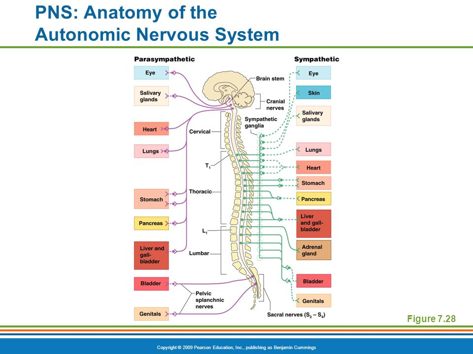 Copyright © 2009 Pearson Education, Inc., publishing as Benjamin Cummings Figure 7.28 PNS: Anatomy of the Autonomic Nervous System