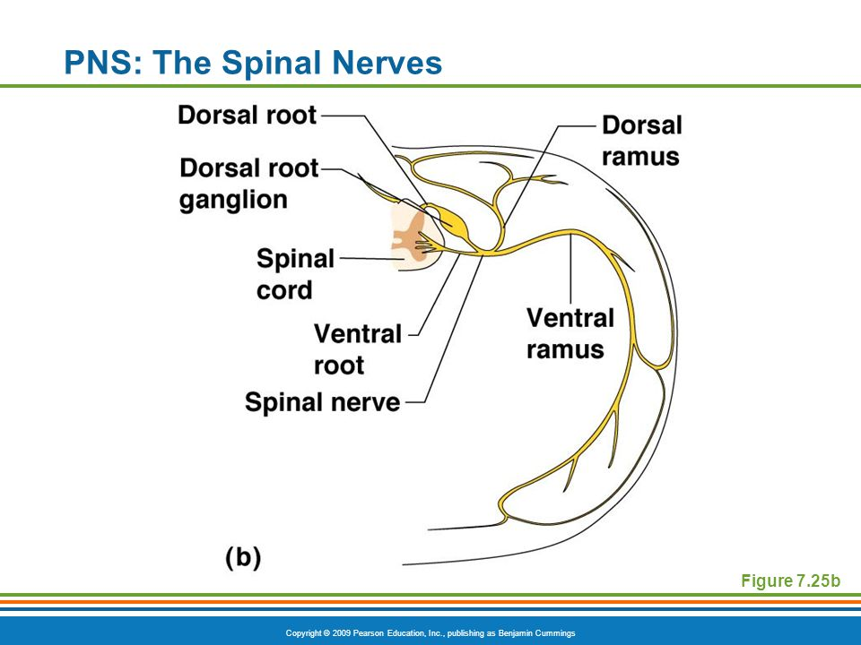 Copyright © 2009 Pearson Education, Inc., publishing as Benjamin Cummings PNS: The Spinal Nerves Figure 7.25b