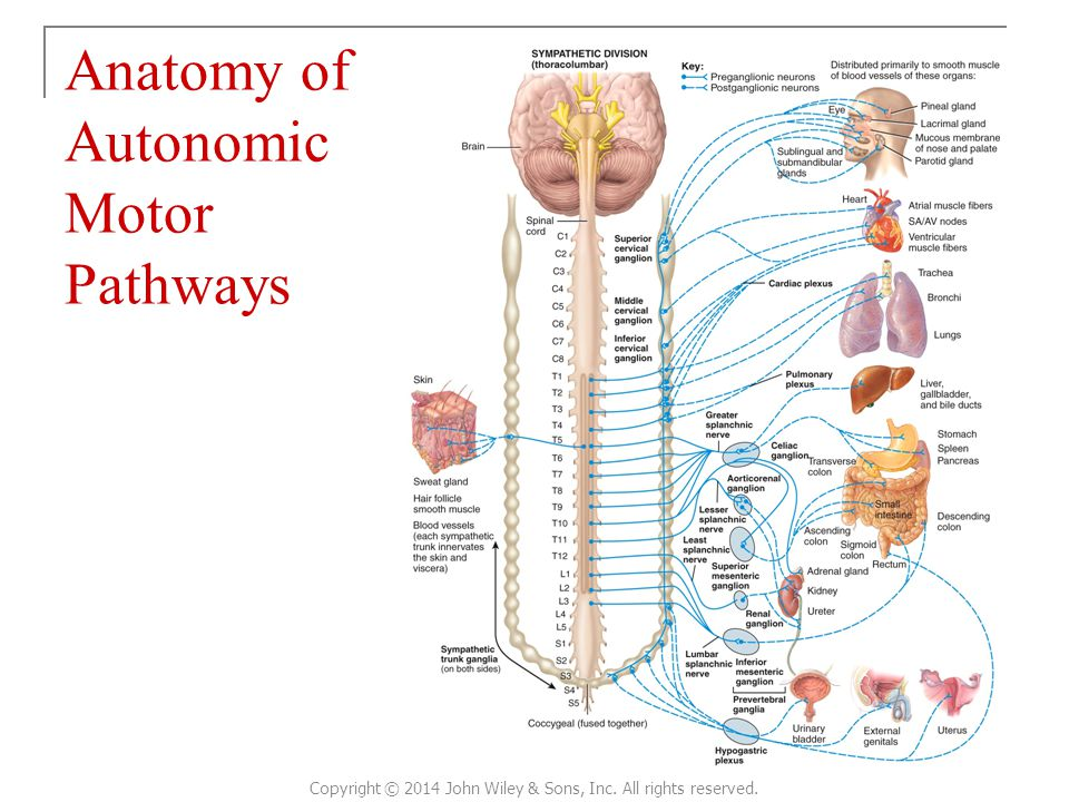 Anatomy of Autonomic Motor Pathways Copyright © 2014 John Wiley & Sons, Inc. All rights reserved.