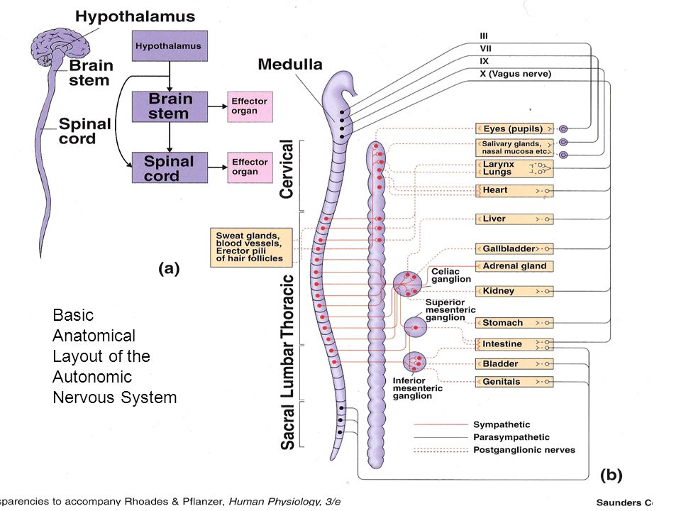 Anatomical summary of the ANS Basic Anatomical Layout of the Autonomic Nervous System