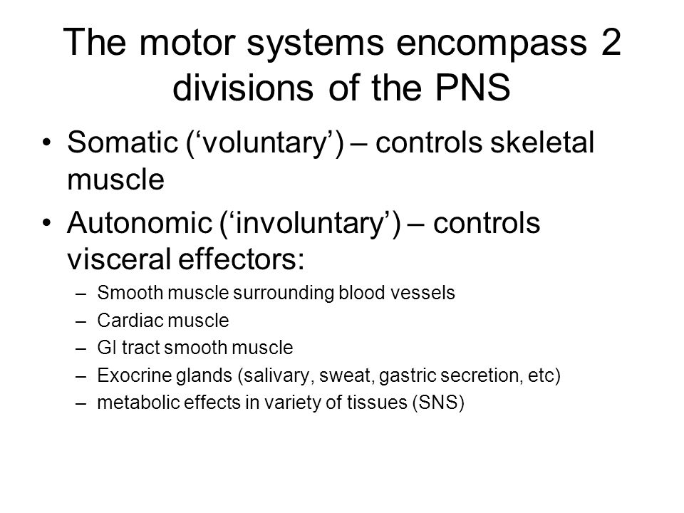 The motor systems encompass 2 divisions of the PNS Somatic ('voluntary') – controls skeletal muscle Autonomic ('involuntary') – controls visceral effectors: –Smooth muscle surrounding blood vessels –Cardiac muscle –GI tract smooth muscle –Exocrine glands (salivary, sweat, gastric secretion, etc) –metabolic effects in variety of tissues (SNS)