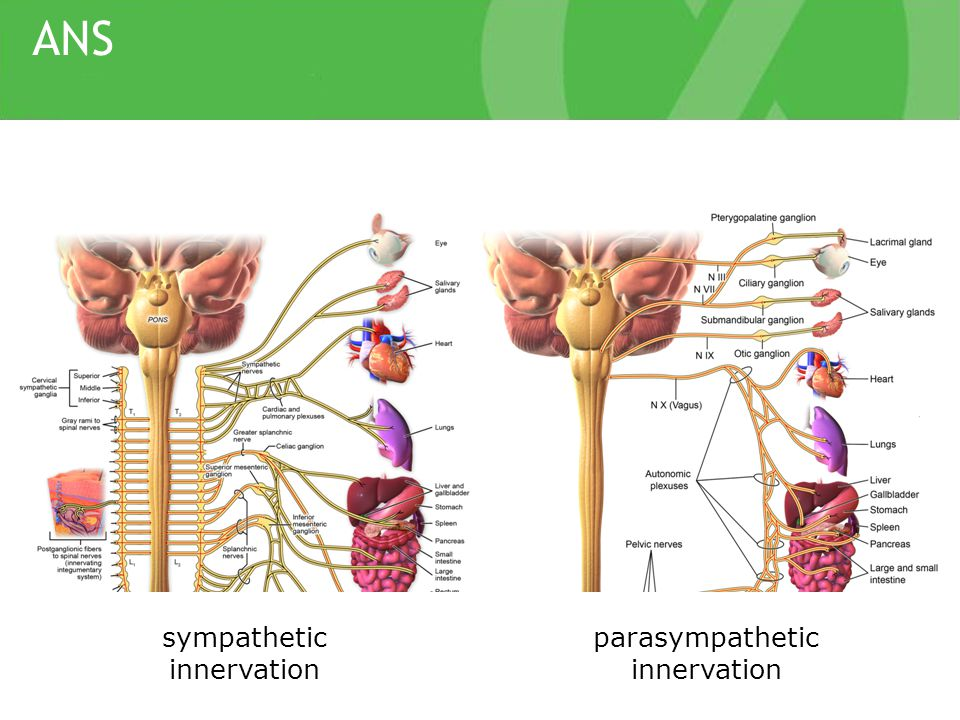ANS parasympathetic innervation sympathetic innervation