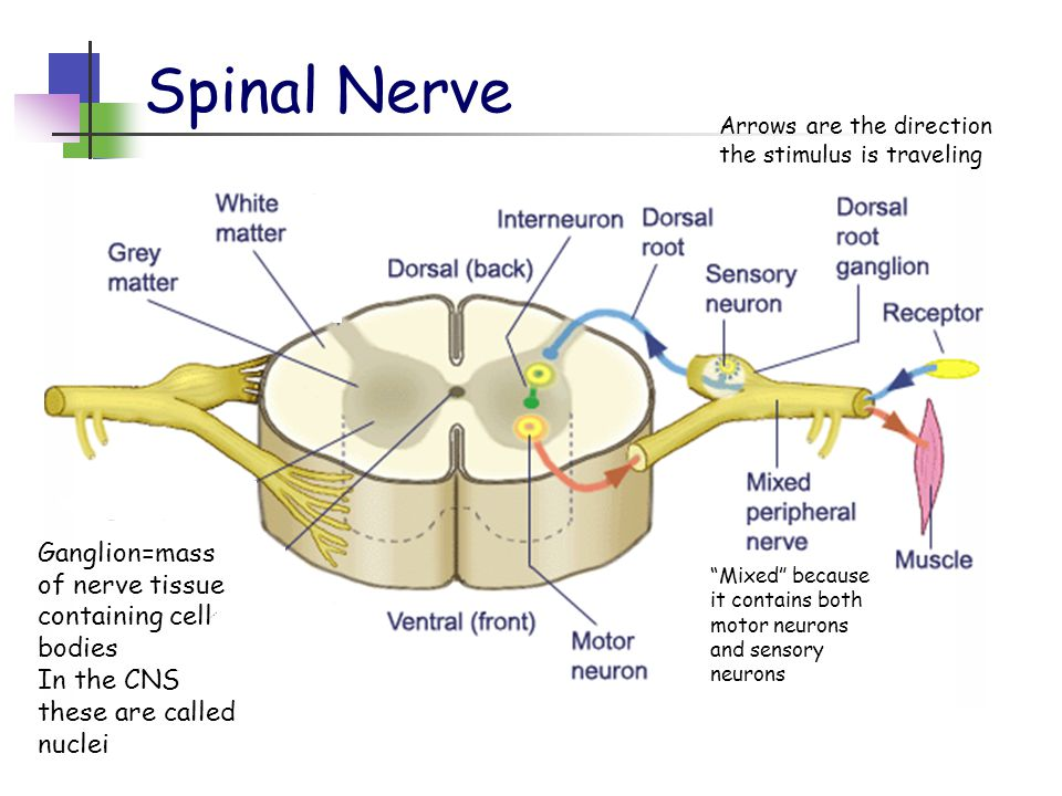 Spinal Nerve Mixed because it contains both motor neurons and sensory neurons Arrows are the direction the stimulus is traveling Ganglion=mass of nerve tissue containing cell bodies In the CNS these are called nuclei