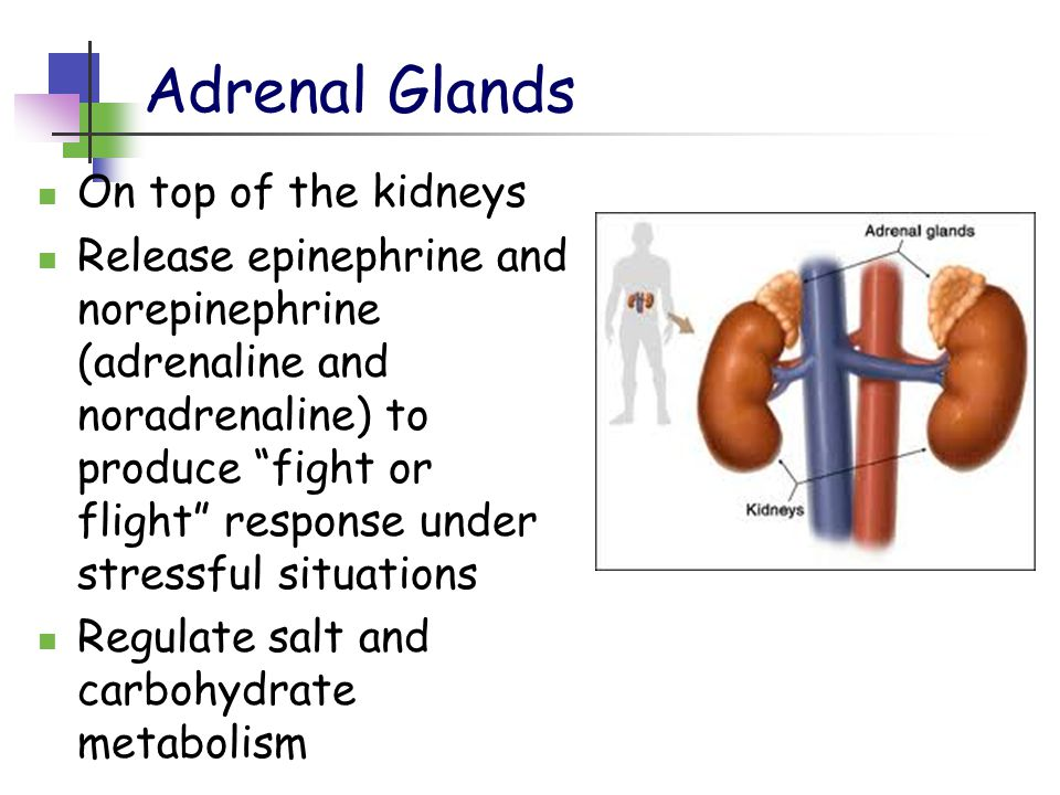 Adrenal Glands On top of the kidneys Release epinephrine and norepinephrine (adrenaline and noradrenaline) to produce fight or flight response under stressful situations Regulate salt and carbohydrate metabolism