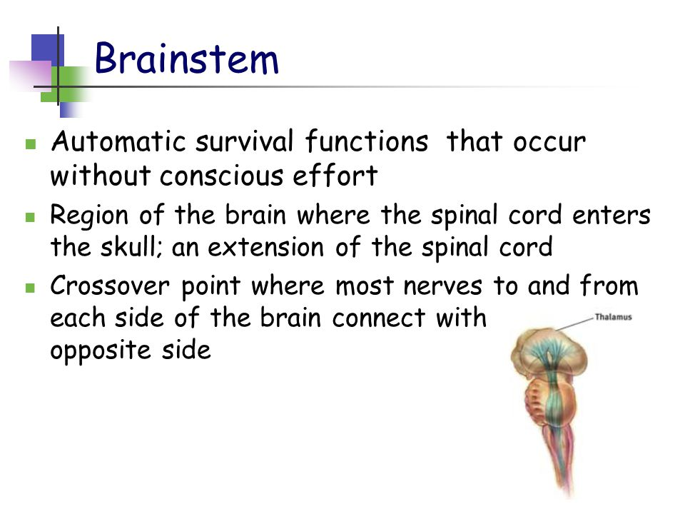 Brainstem Automatic survival functions that occur without conscious effort Region of the brain where the spinal cord enters the skull; an extension of the spinal cord Crossover point where most nerves to and from each side of the brain connect with body's opposite side
