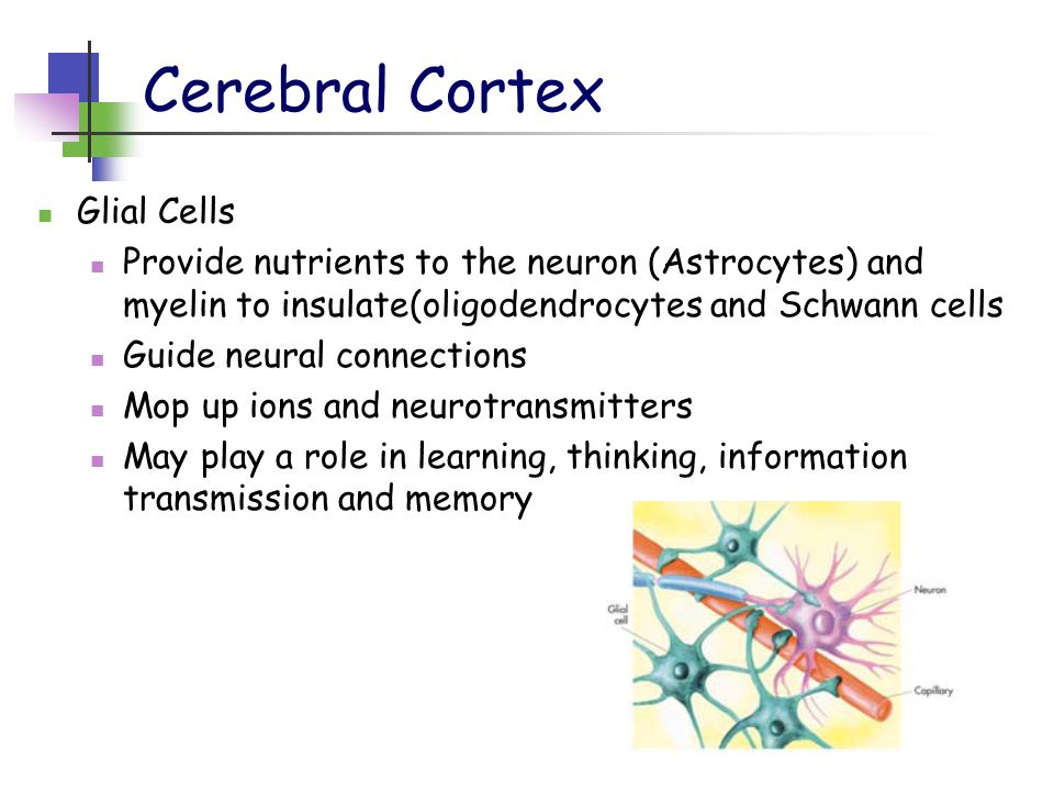 Cerebral Cortex Glial Cells Provide nutrients to the neuron (Astrocytes) and myelin to insulate(oligodendrocytes and Schwann cells Guide neural connections Mop up ions and neurotransmitters May play a role in learning, thinking, information transmission and memory