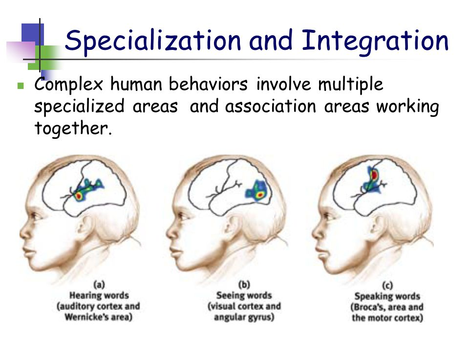 Specialization and Integration Complex human behaviors involve multiple specialized areas and association areas working together.