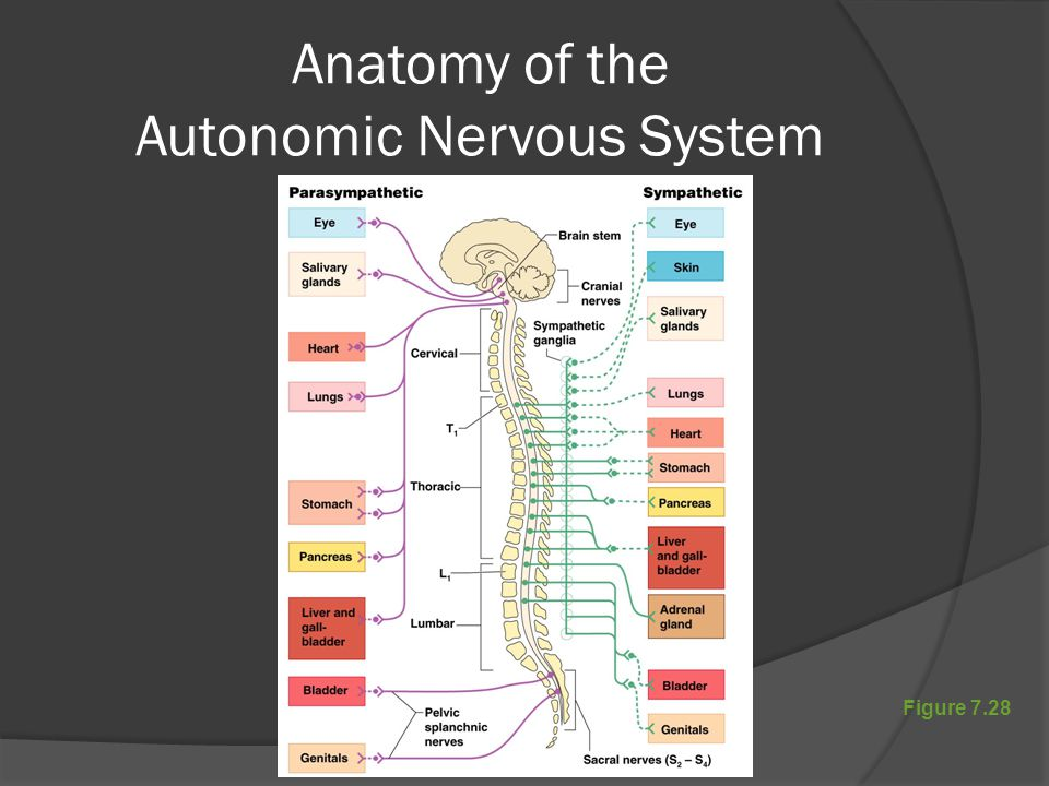 Figure 7.28 Anatomy of the Autonomic Nervous System