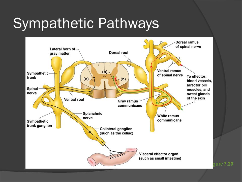 Sympathetic Pathways Figure 7.29