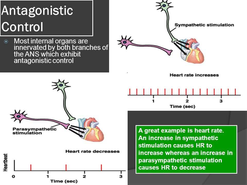 Antagonistic Control  Most internal organs are innervated by both branches of the ANS which exhibit antagonistic control A great example is heart rate.
