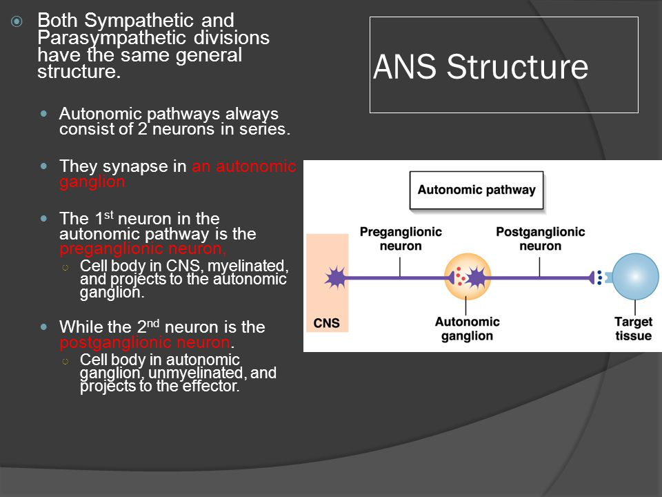 ANS Structure  Both Sympathetic and Parasympathetic divisions have the same general structure.
