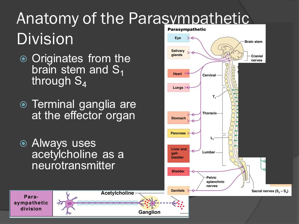Anatomy of the Parasympathetic Division  Originates from the brain stem and S 1 through S 4  Terminal ganglia are at the effector organ  Always uses acetylcholine as a neurotransmitter