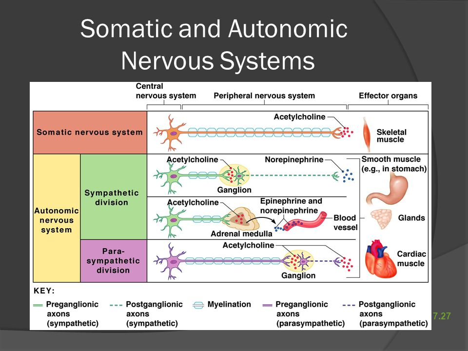 Somatic and Autonomic Nervous Systems Figure 7.27