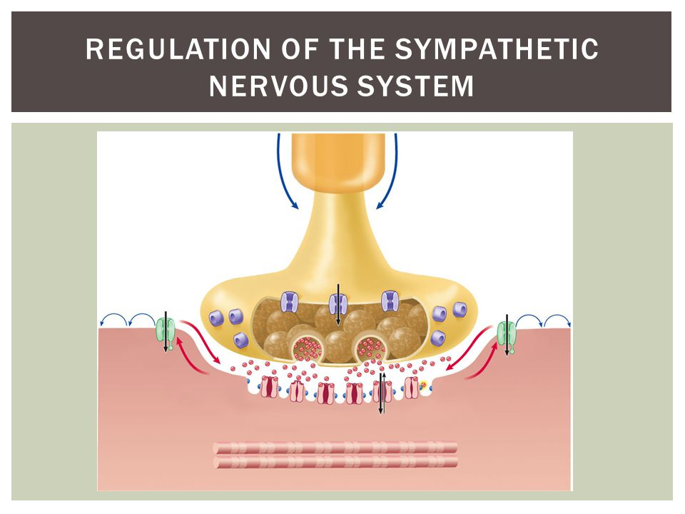 REGULATION OF THE SYMPATHETIC NERVOUS SYSTEM