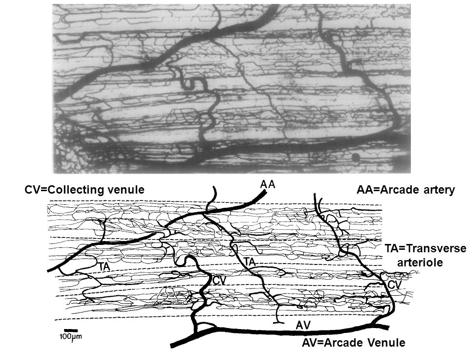 AA=Arcade artery AV=Arcade Venule TA=Transverse arteriole CV=Collecting venule