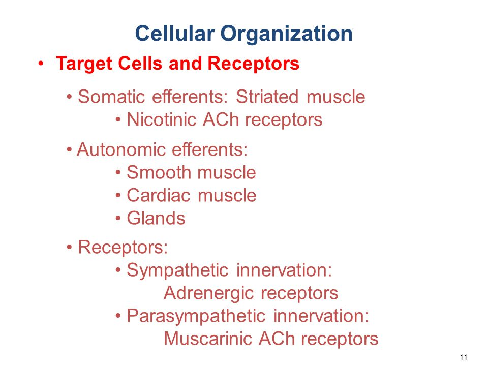 11 Cellular Organization Target Cells and Receptors Somatic efferents: Striated muscle Nicotinic ACh receptors Autonomic efferents: Smooth muscle Card