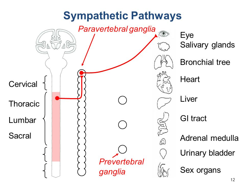12 Eye Salivary glands Bronchial tree Heart Liver GI tract Adrenal medulla Urinary bladder Sex organs Cervical Thoracic Lumbar Sacral Prevertebral ganglia Paravertebral ganglia Sympathetic Pathways