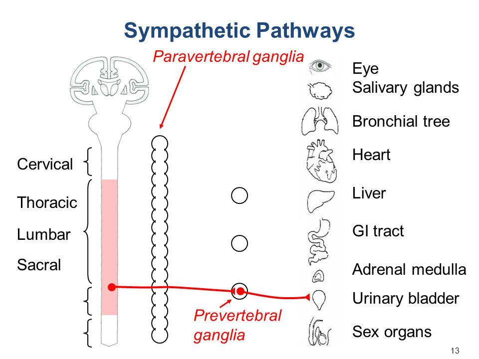 13 Eye Salivary glands Bronchial tree Heart Liver GI tract Adrenal medulla Urinary bladder Sex organs Cervical Thoracic Lumbar Sacral Sympathetic Path