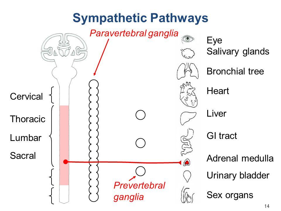 14 Eye Salivary glands Bronchial tree Heart Liver GI tract Adrenal medulla Urinary bladder Sex organs Cervical Thoracic Lumbar Sacral Sympathetic Path