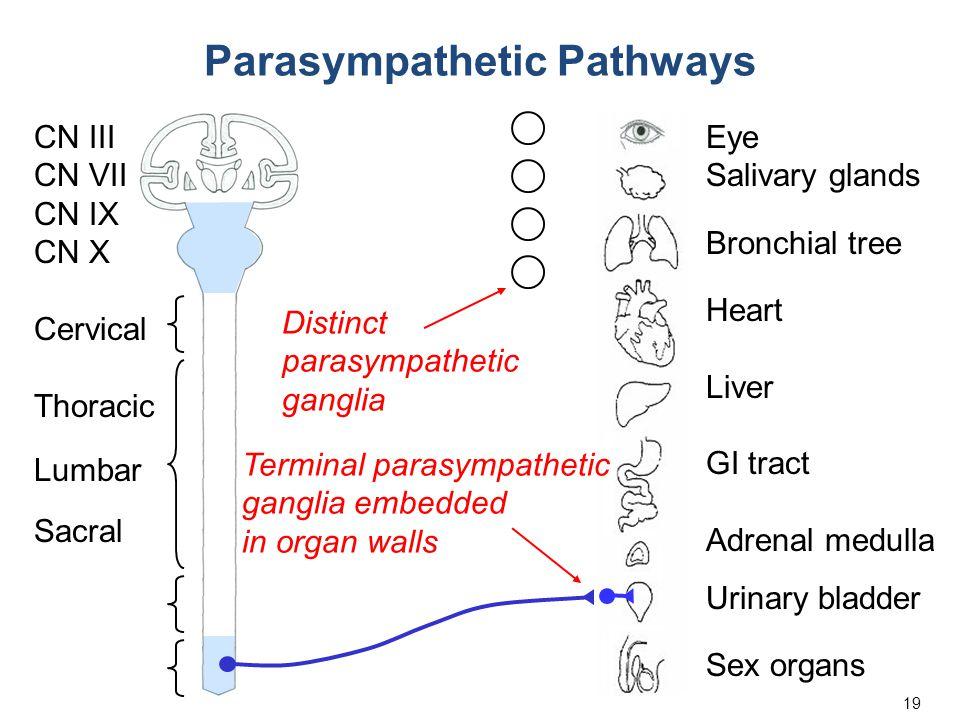 19 Eye Salivary glands Bronchial tree Heart Liver GI tract Adrenal medulla Urinary bladder Sex organs Cervical Thoracic Lumbar Sacral CN III CN VII CN