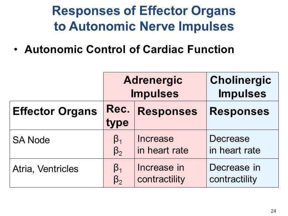 24 Responses of Effector Organs to Autonomic Nerve Impulses Autonomic Control of Cardiac Function Adrenergic Impulses Cholinergic Impulses Responses Effector Organs Rec.